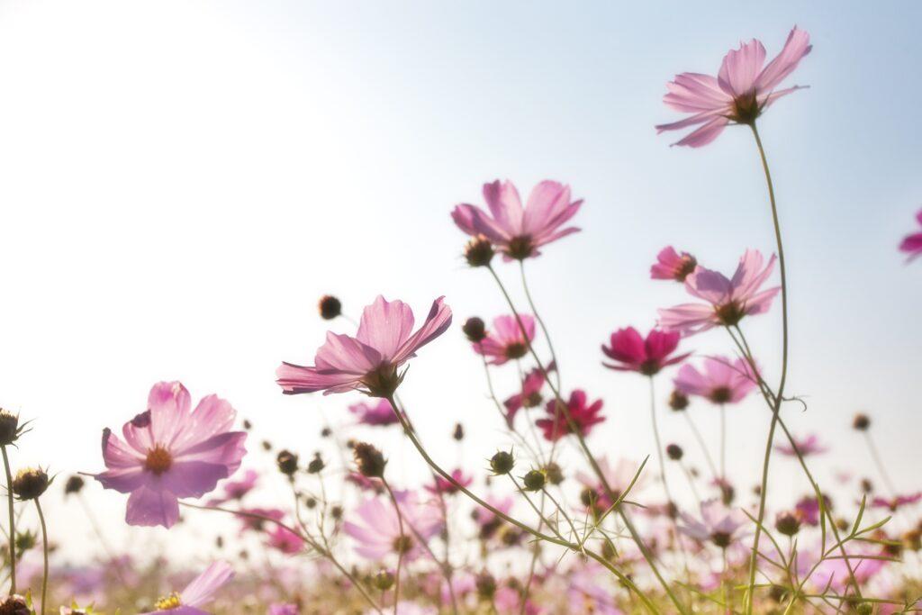 Pink Flower Field 158756